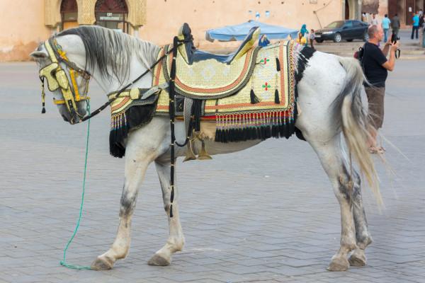 Meknes - geschmücktes Pferd auf dem Lahdim Square