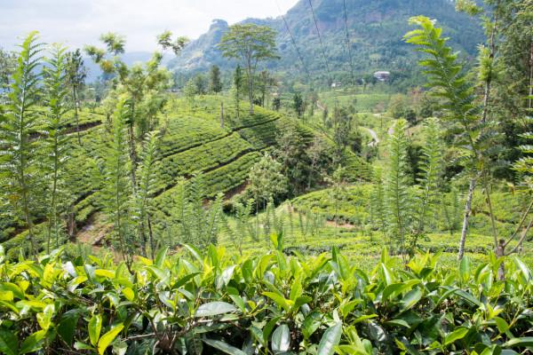 Teeplantage auf Sri Lanka
